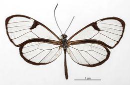 Image of <i>Pteronymia carlia</i> Schaus 1902