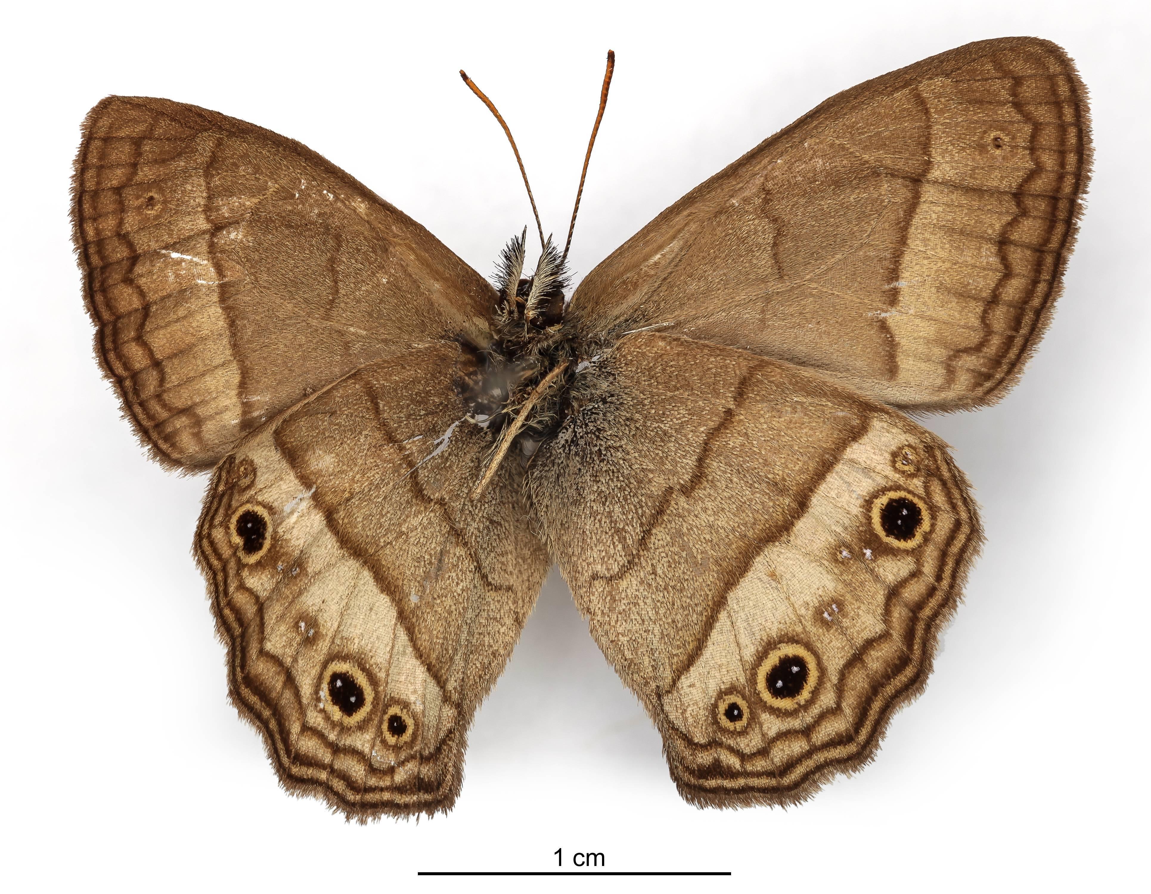 Image of <i>Euptychia castrensis</i> Schaus