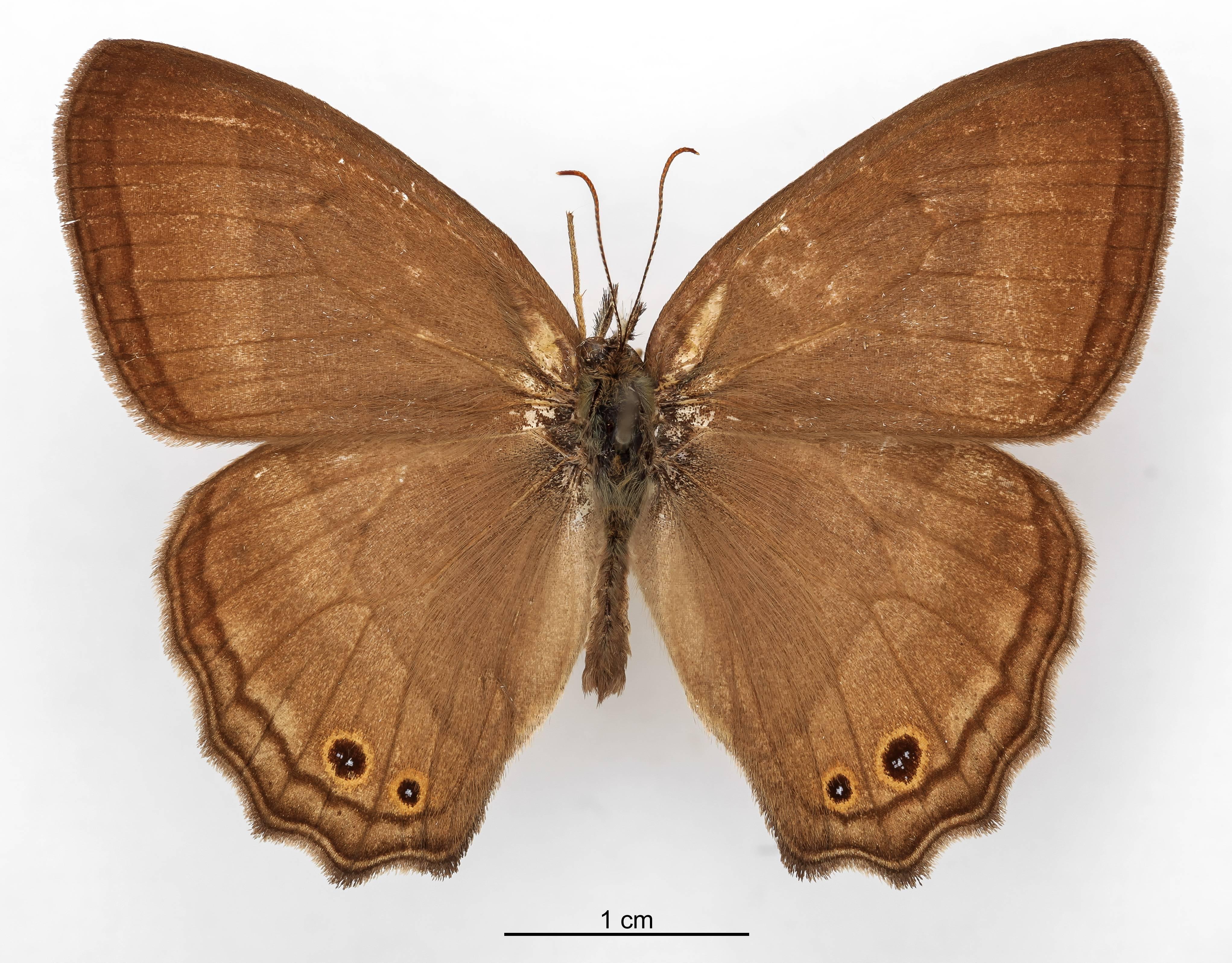 Image of <i>Euptychia borasta</i> Schaus 1902
