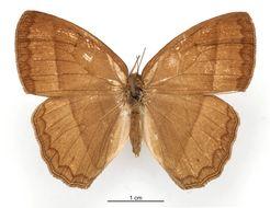 Image of <i>Euptychia burgia</i> Schaus 1902
