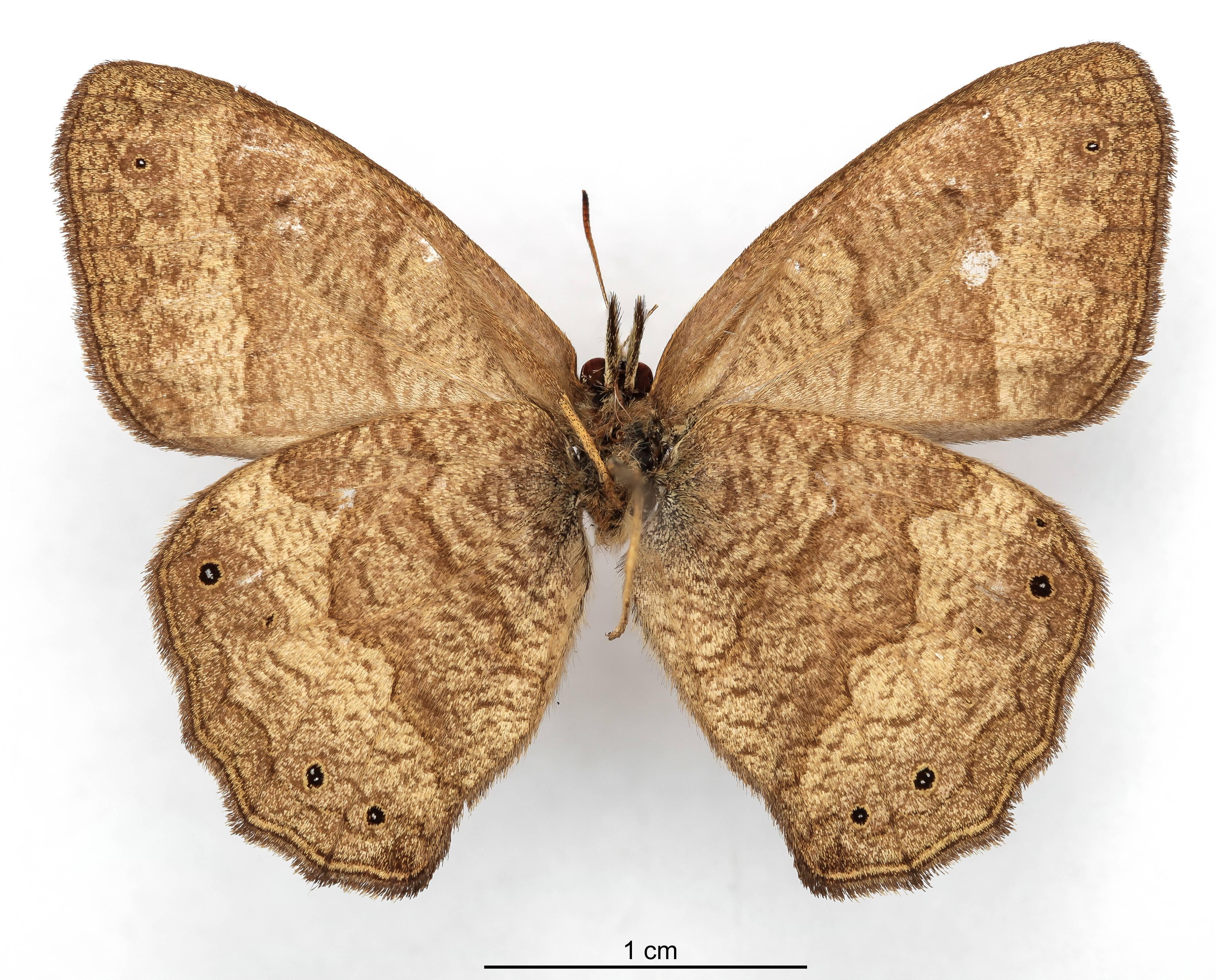 Image of <i>Euptychia moneca</i> Schaus 1902