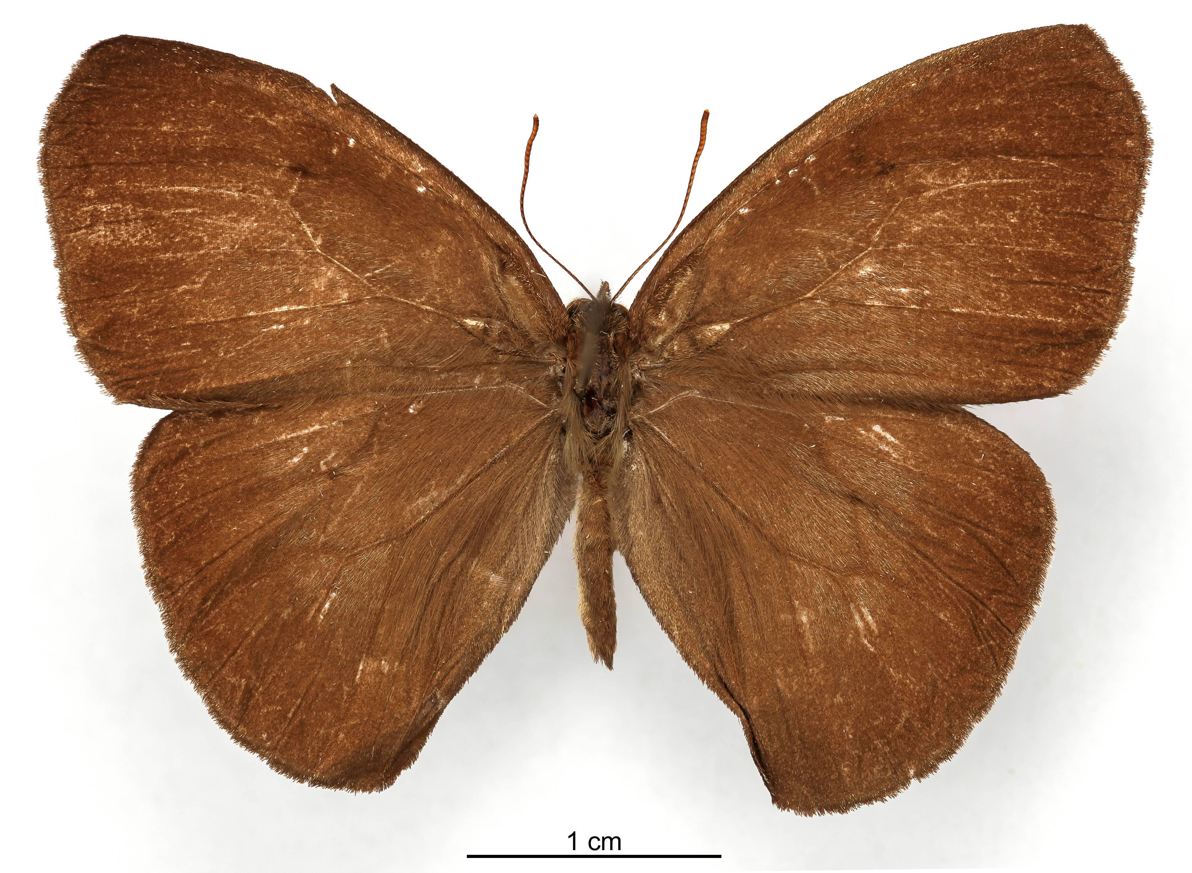 Image of <i>Euptychia morima</i> Schaus