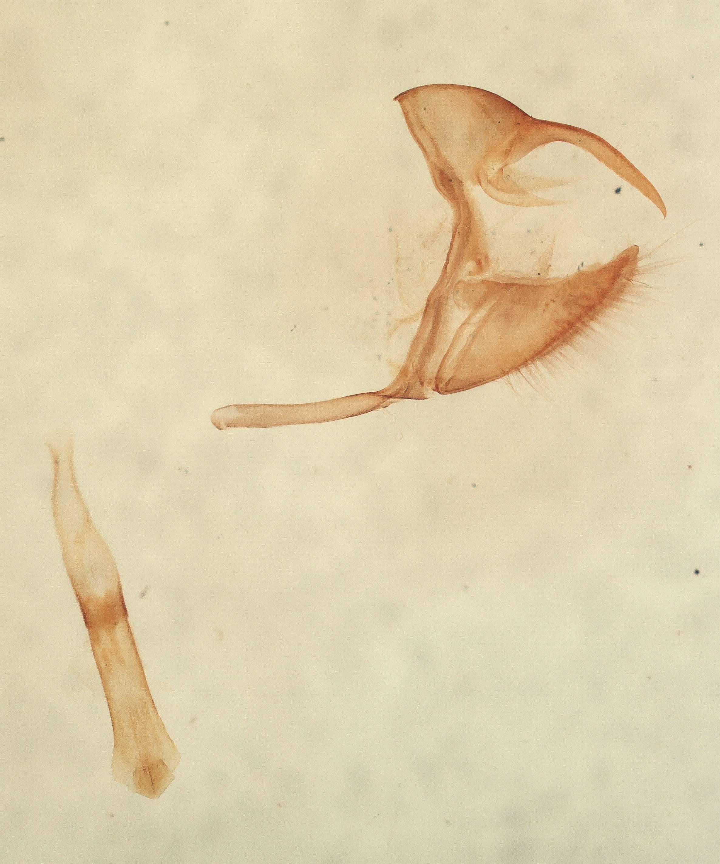Image of <i>Euptychia narapa</i> Schaus