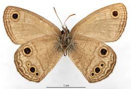 Image of <i>Euptychia ocelloides</i> Schaus 1902