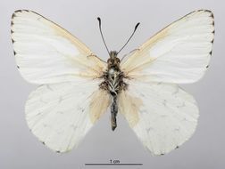 Image of <i>Hesperocharis paranensis</i> Schaus 1898
