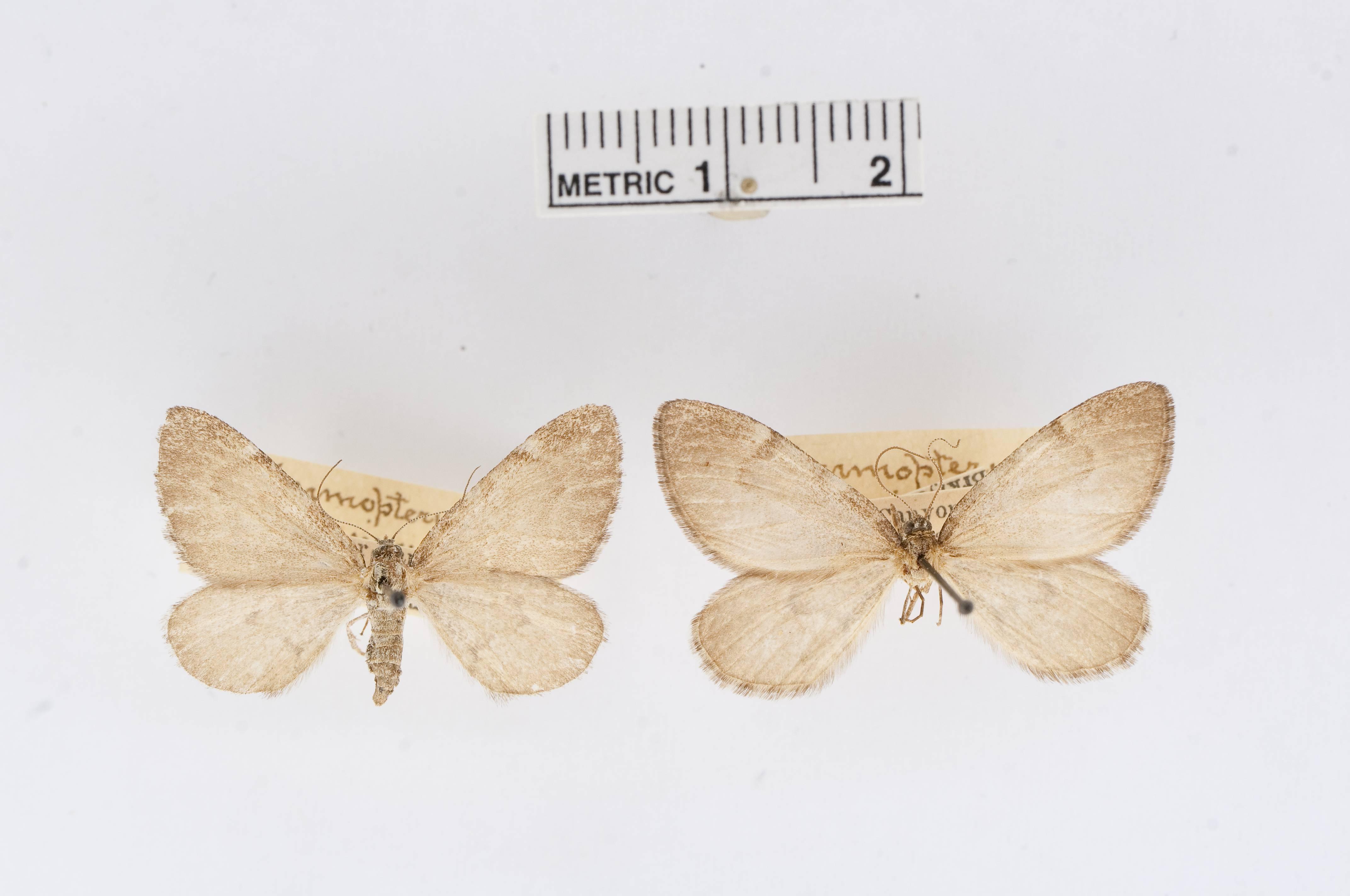 Image of <i>Marmopteryx animata</i> Pearsall 1906