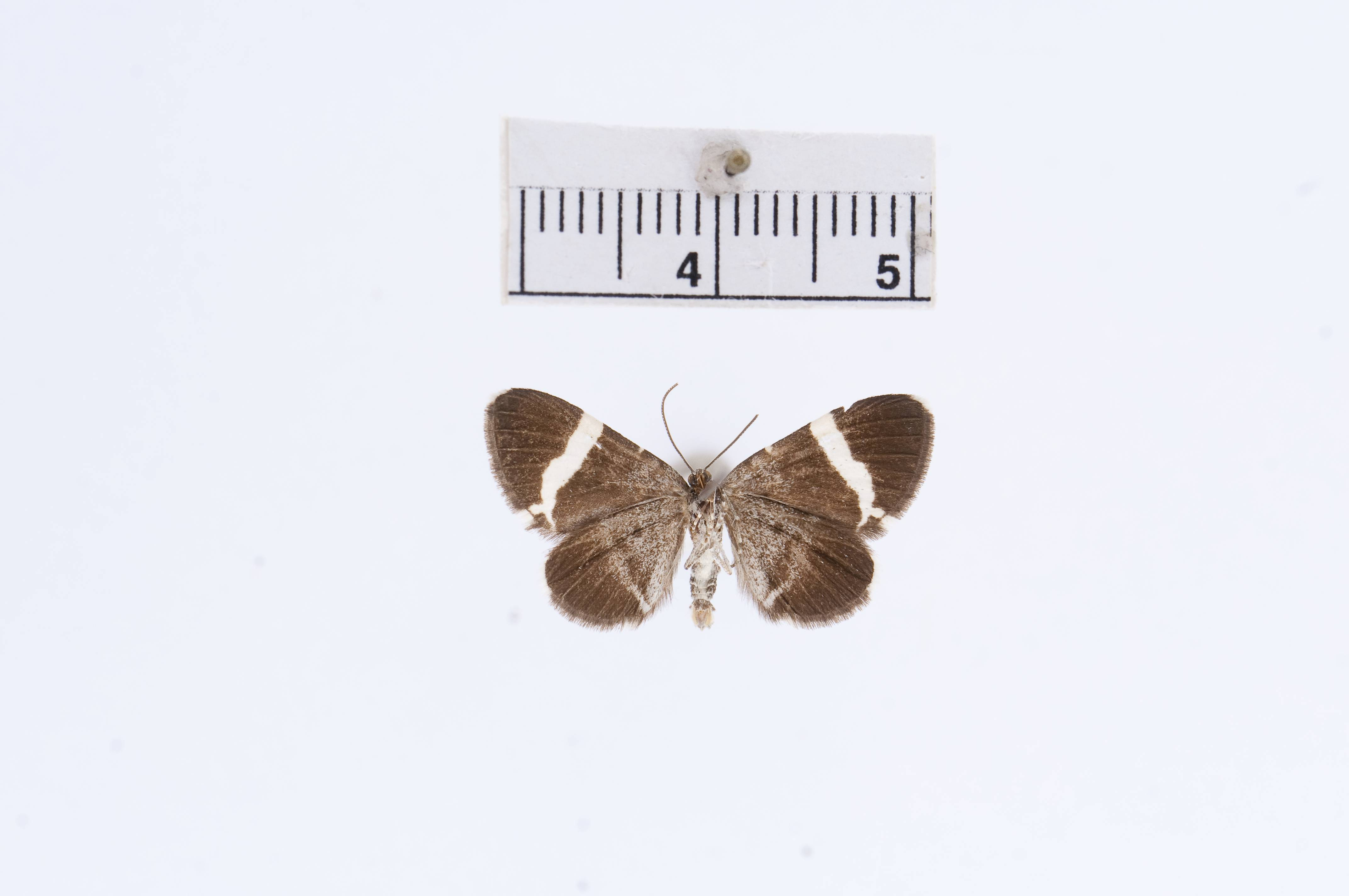 Image of <i>Trichodezia albovittata</i> ssp. <i>tenuifasciata</i> Barnes & McDunnough