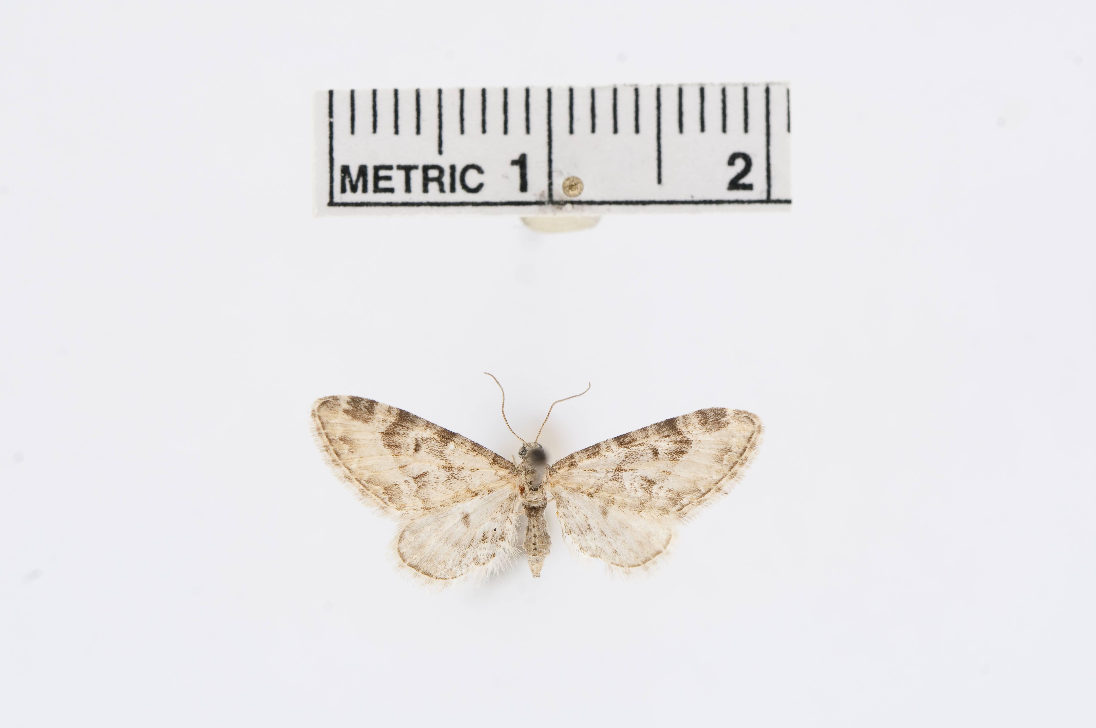 Image of <i>Eupithecia barnesi</i> Cassino & Swett 1922