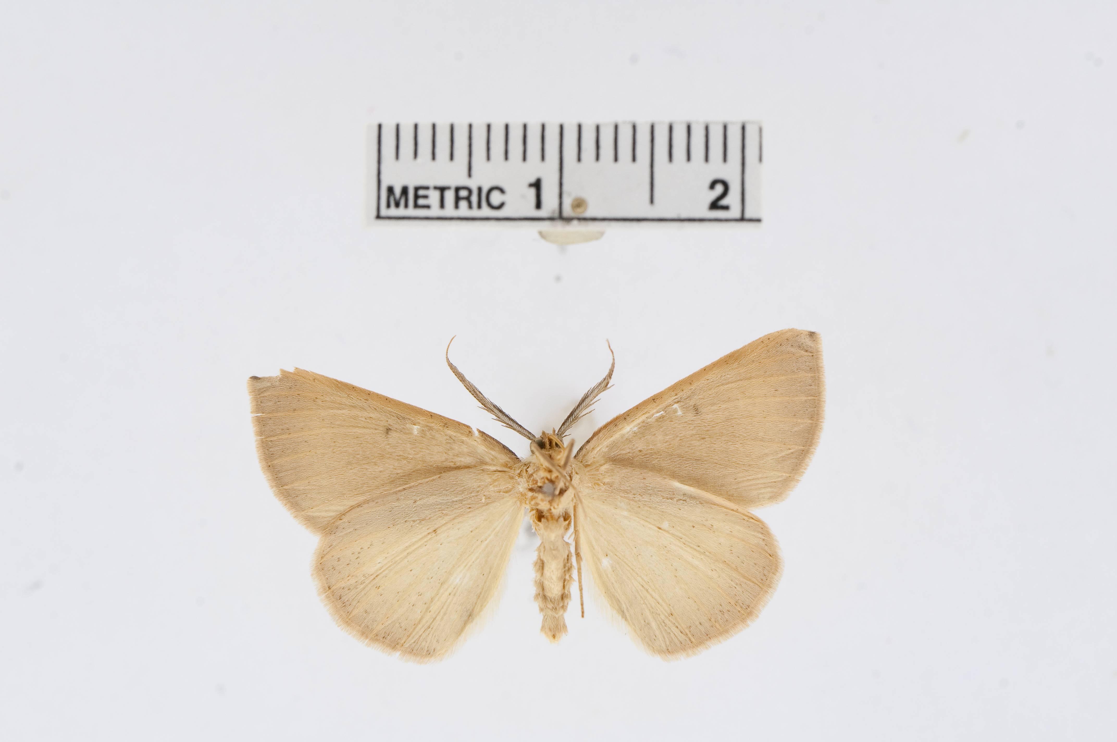 Image of <i>Drepanulatrix hulsti</i> ssp. <i>carneolata</i> Barnes & McDunnough