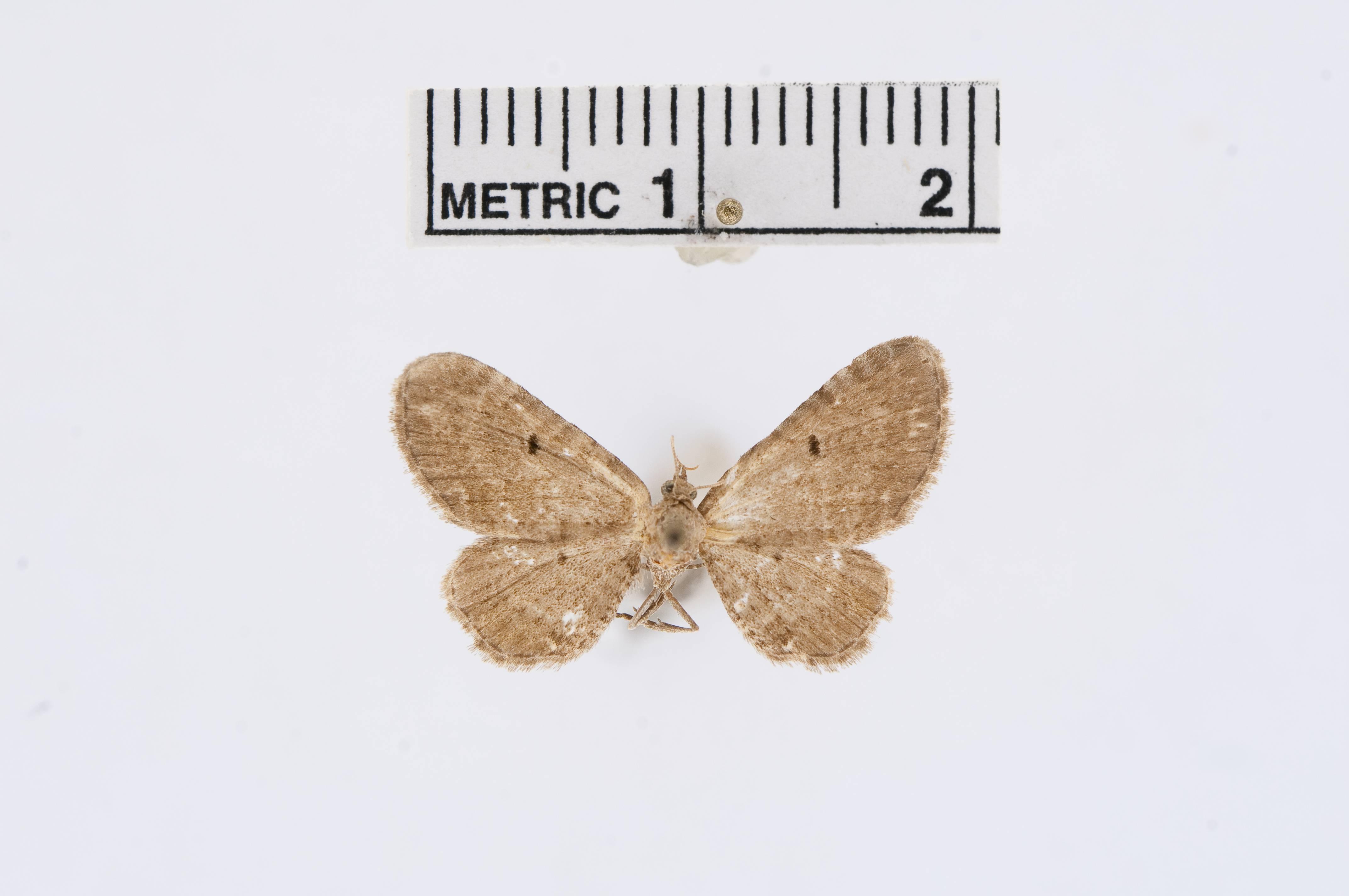 Image of <i>Eupithecia cocoata</i> Pearsall 1908