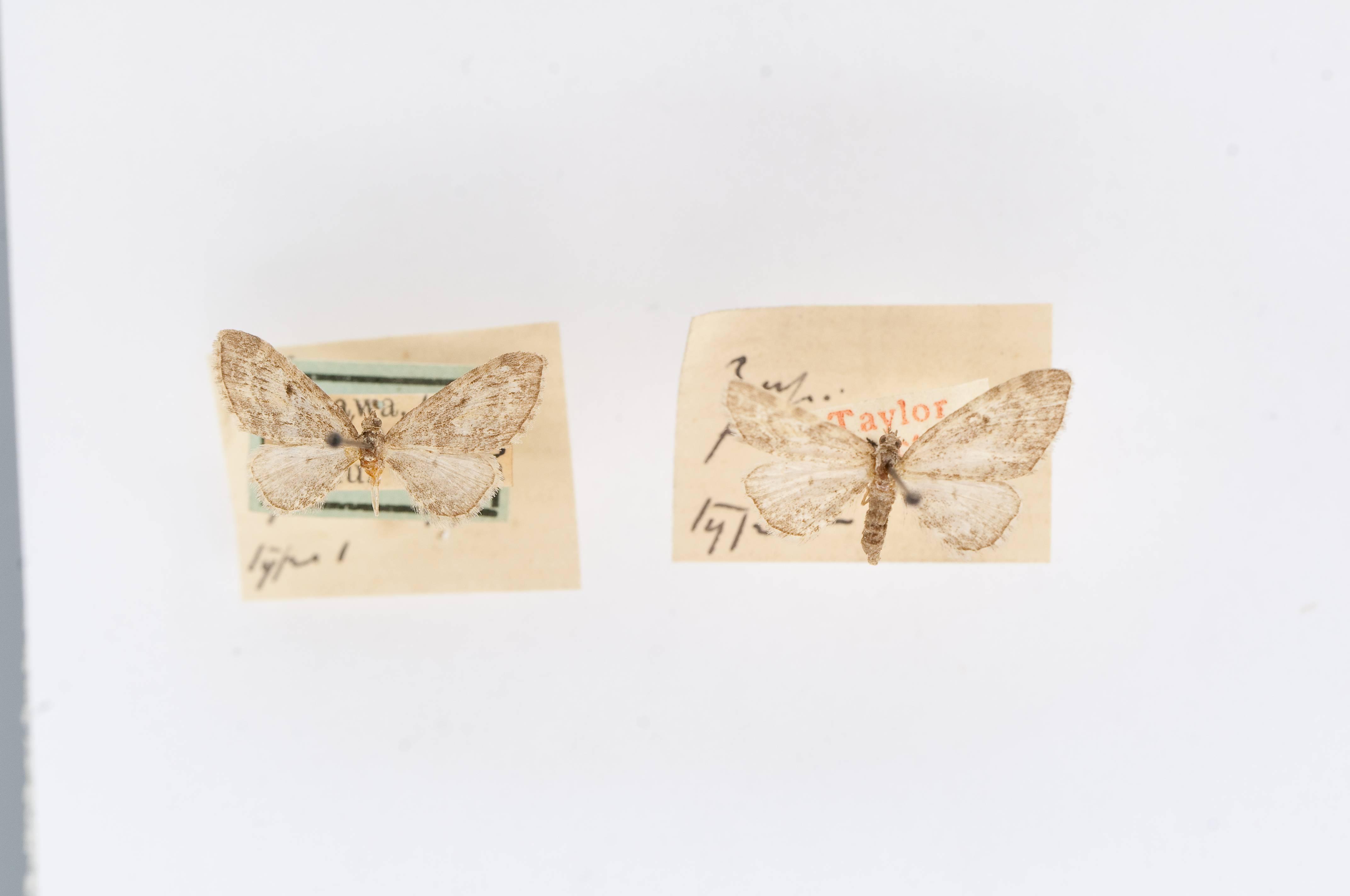 Image of <i>Eupithecia fasciata</i> Taylor 1910