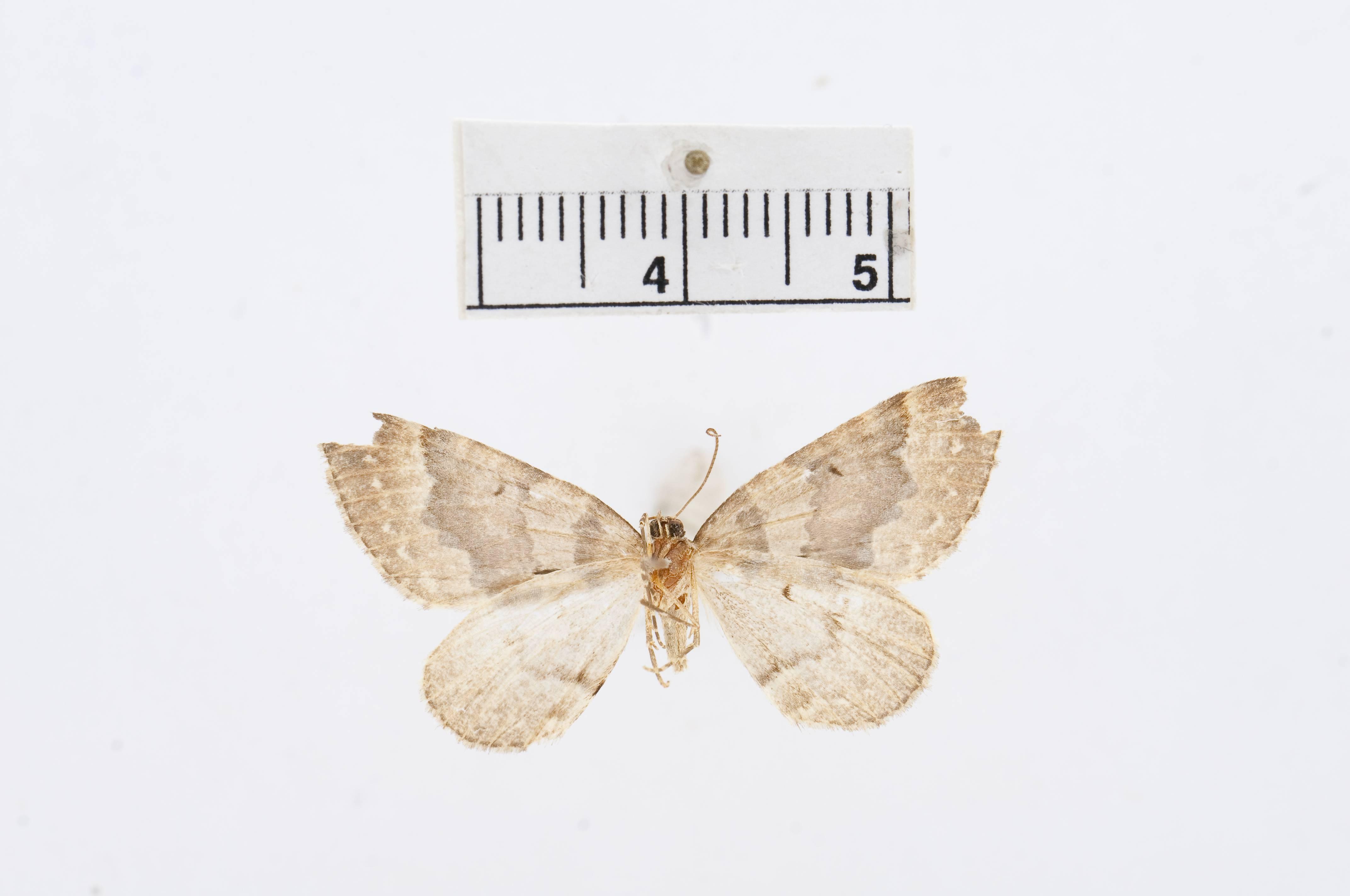 Image of <i>Eustroma fasciata</i> Barnes & Mc Dunnough 1918