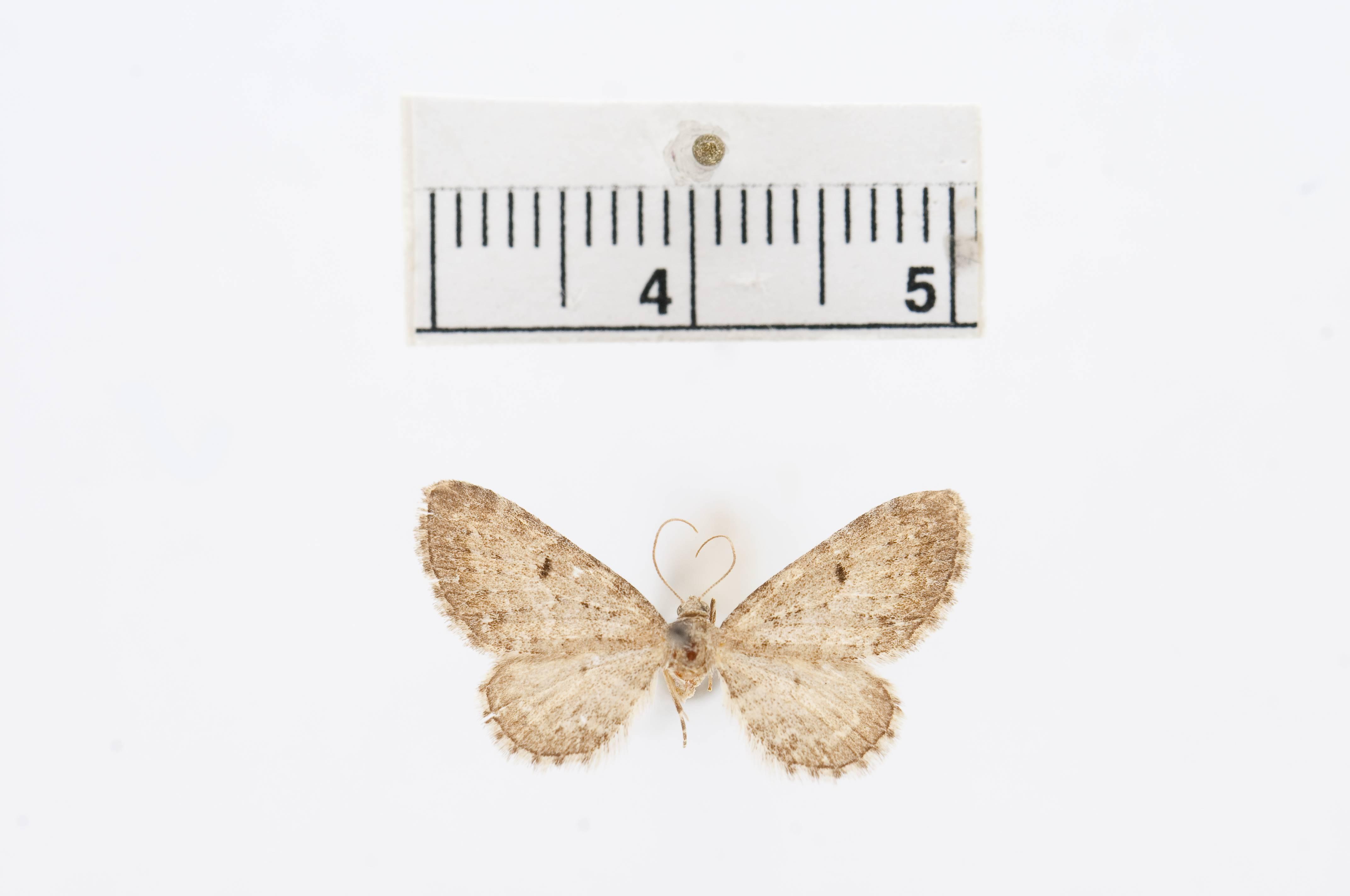 Image of <i>Eupithecia fumata</i> Taylor 1910