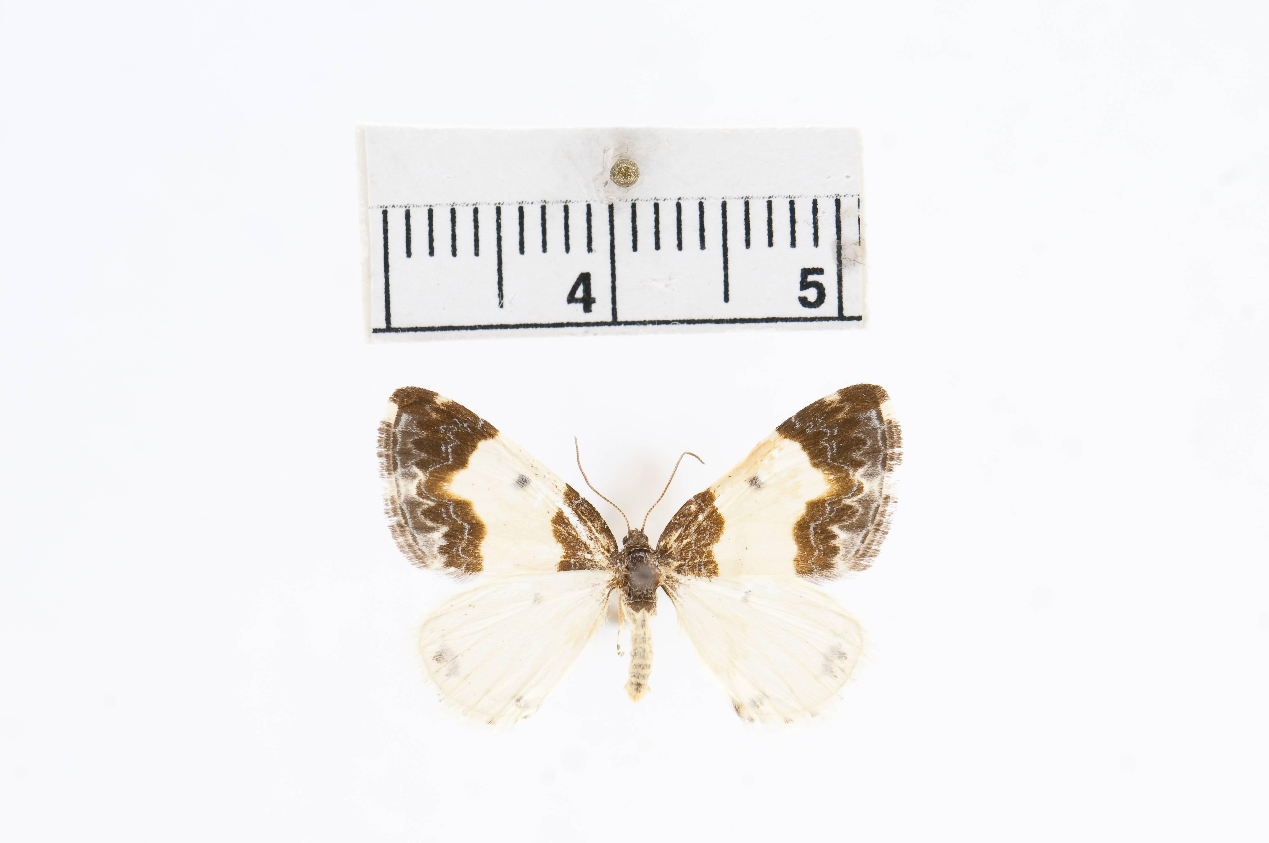 Image of <i>Mesoleuca gratulata</i> ssp. <i>latialbata</i> Barnes & McDunnough