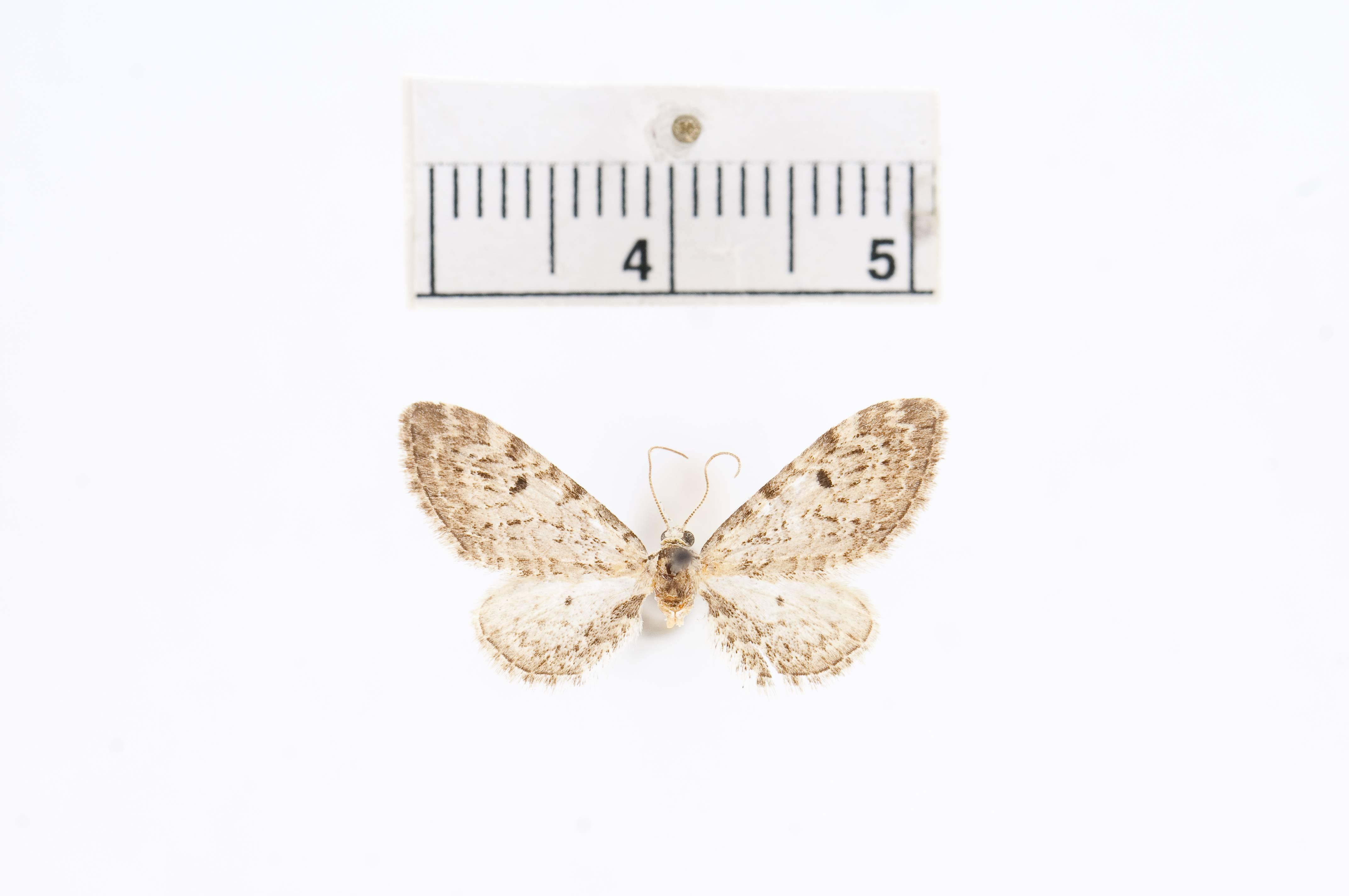 Image of <i>Eupithecia hanhami</i> Taylor 1906