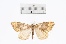 Image of <i>Eustroma harveyata</i> Taylor