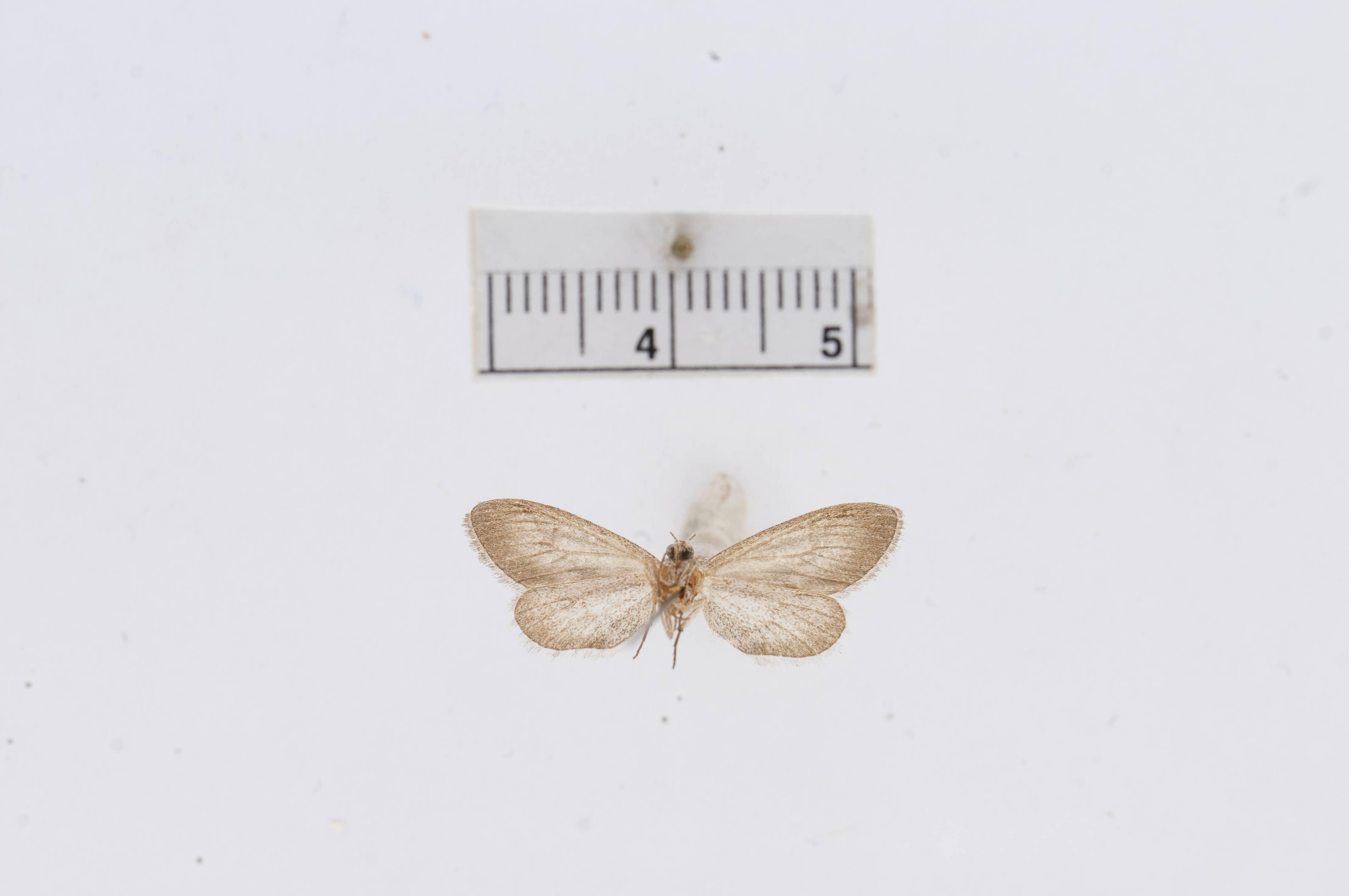 Image of <i>Drepanulatrix lutearia</i> Barnes & Mc Dunnough 1916