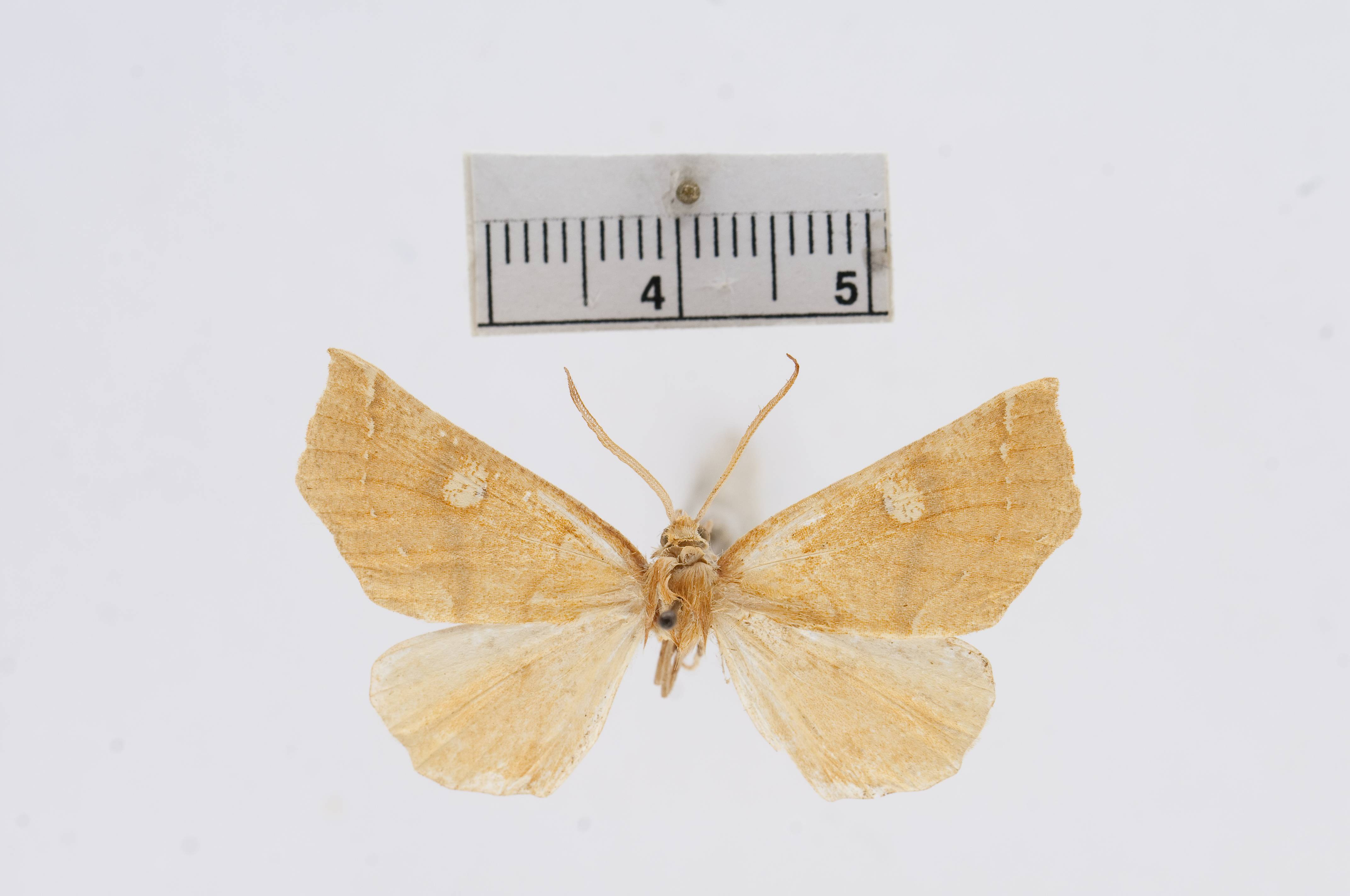 Image of <i>Eupithecia macfarlandi</i> Ferris