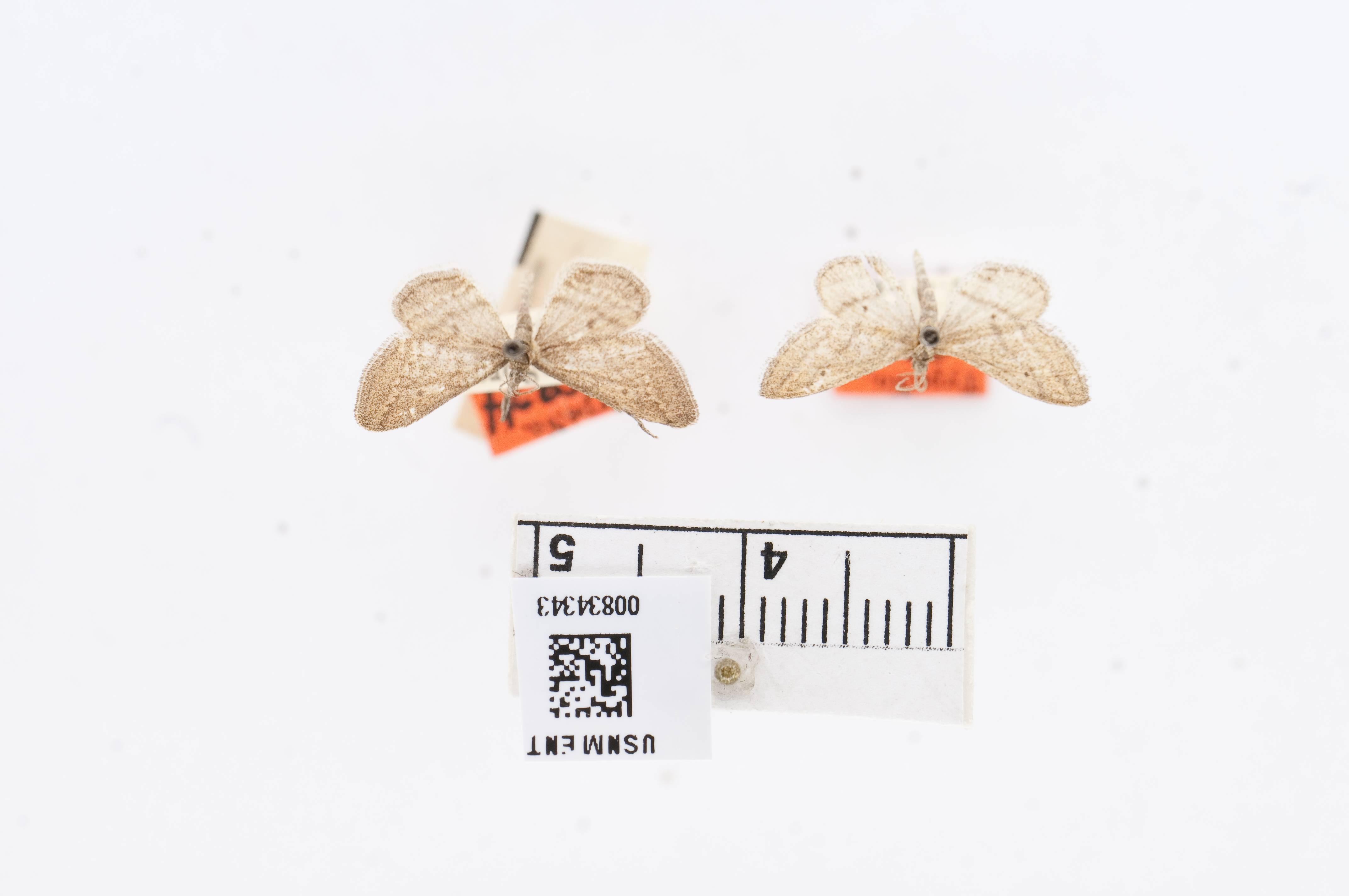 Image of <i>Lobocleta moricaria</i> Dyar 1923