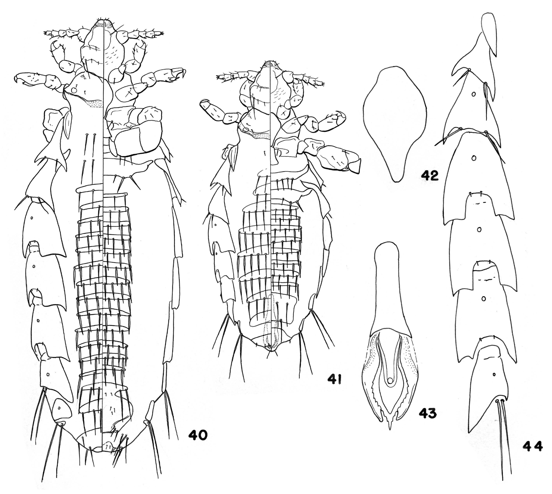 Image of <i>Hoplopleura patersoni</i> Johnson & P. T. 1960