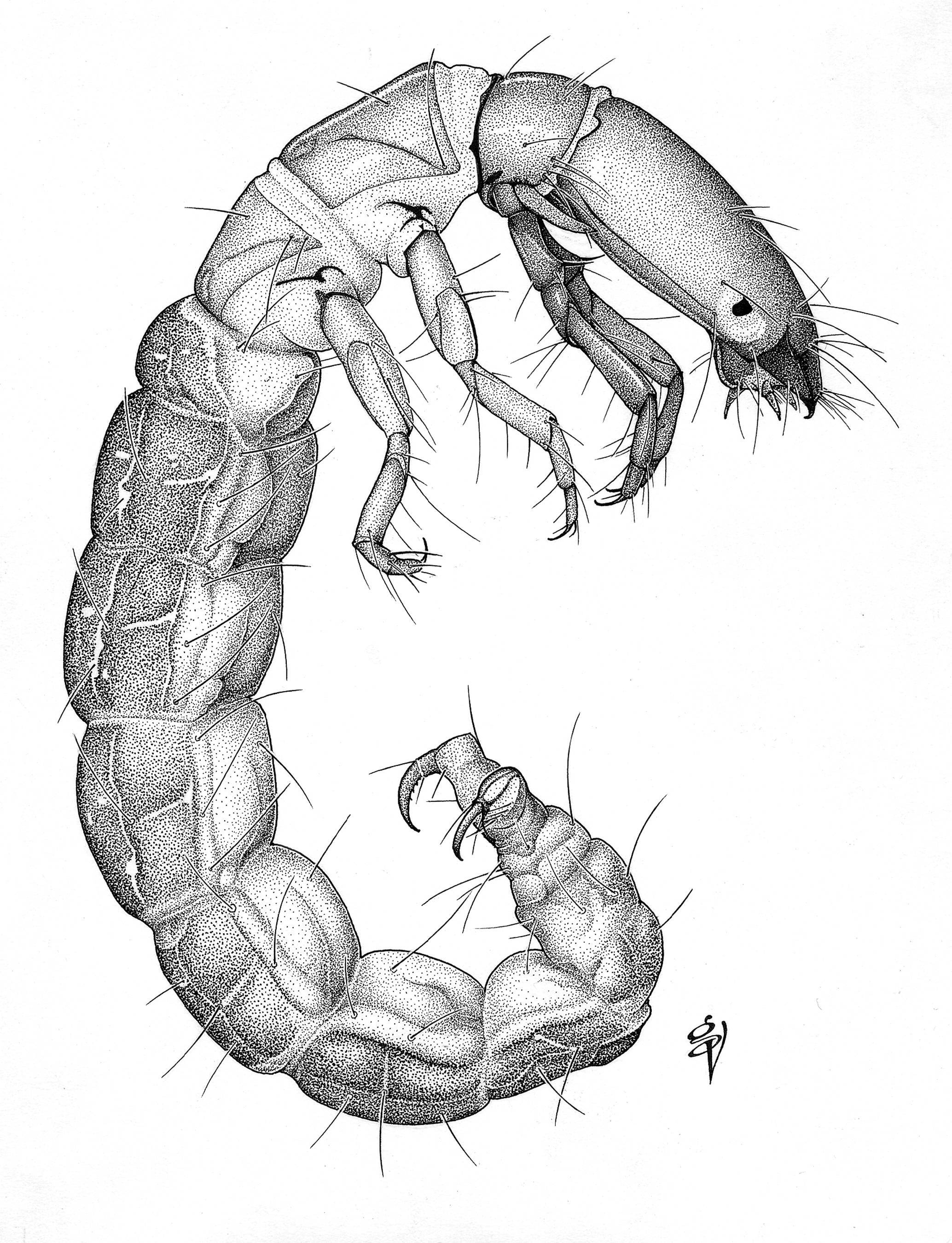 Image of Austrotinodes