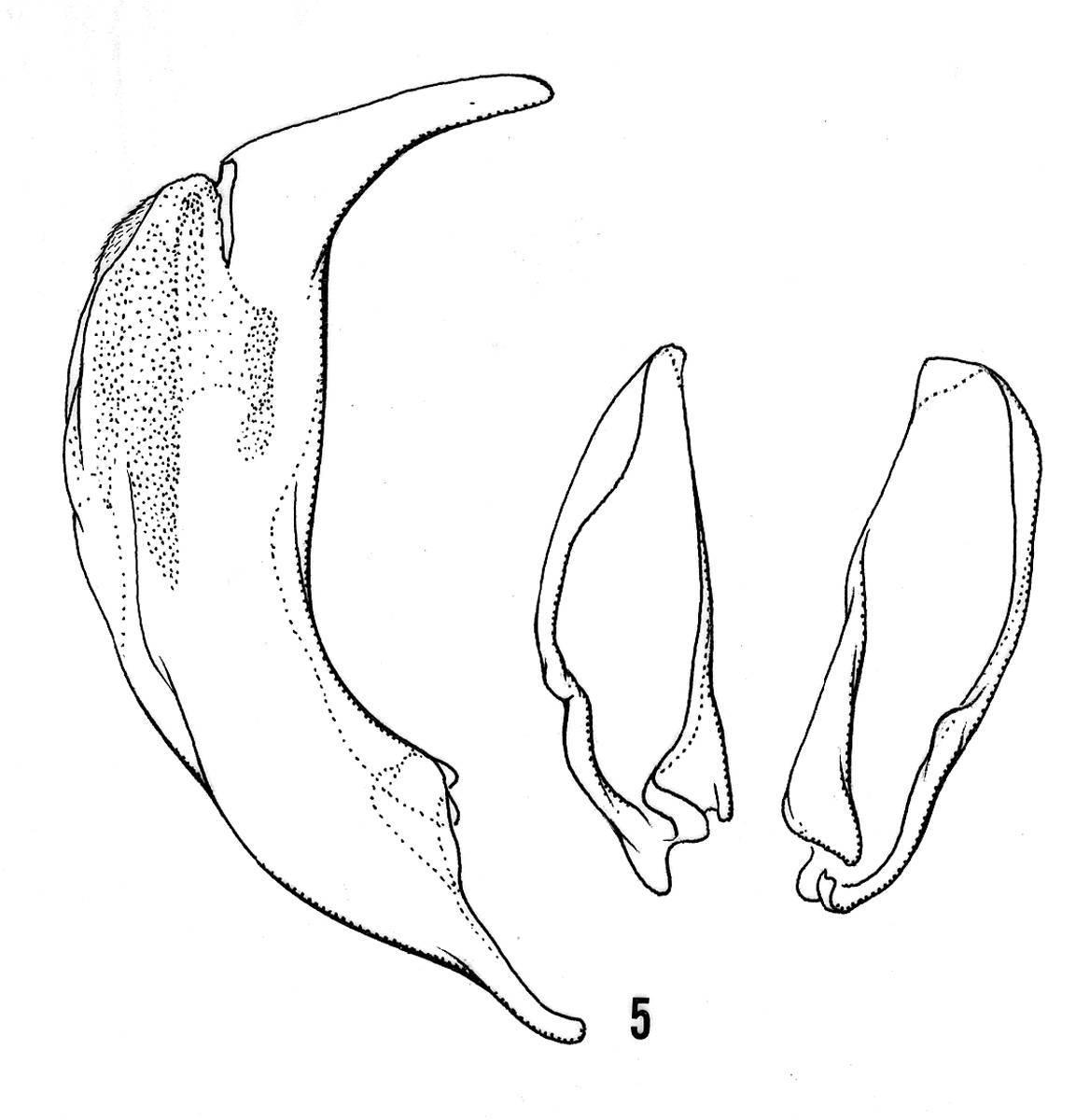 Image of <i><i>Loricera</i></i> (Loricera) <i>rotundicollis</i> Chaudoir 1863