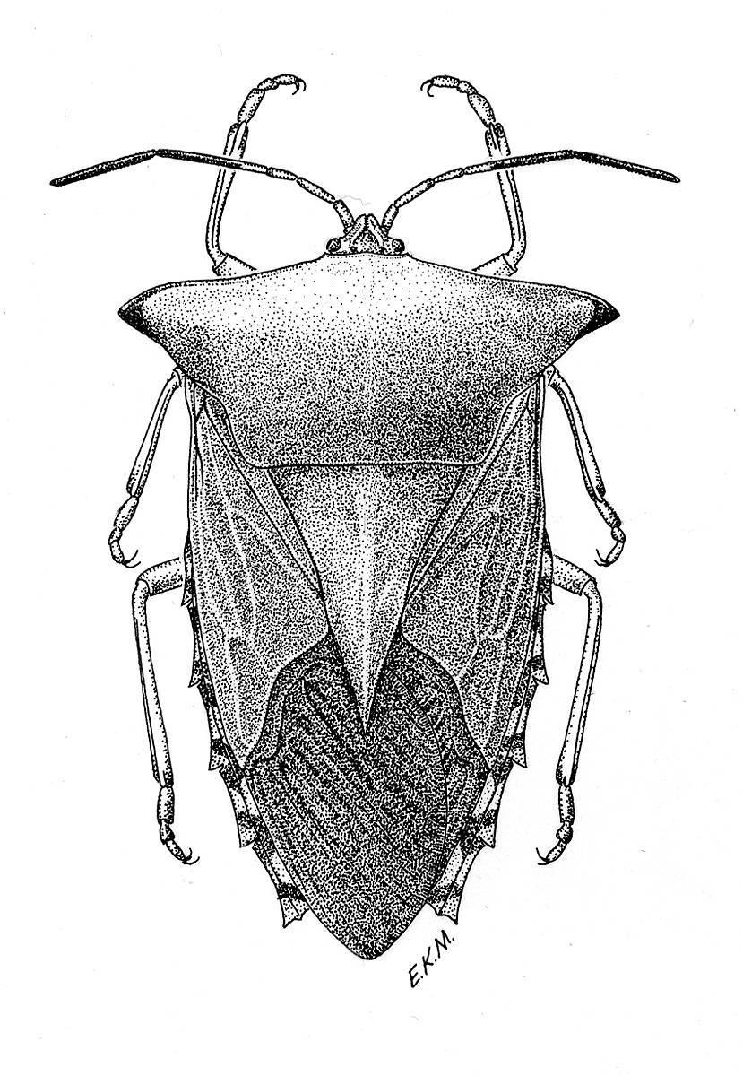 Image of <i>Piezosternum subulatum</i> (Thunberg 1783)