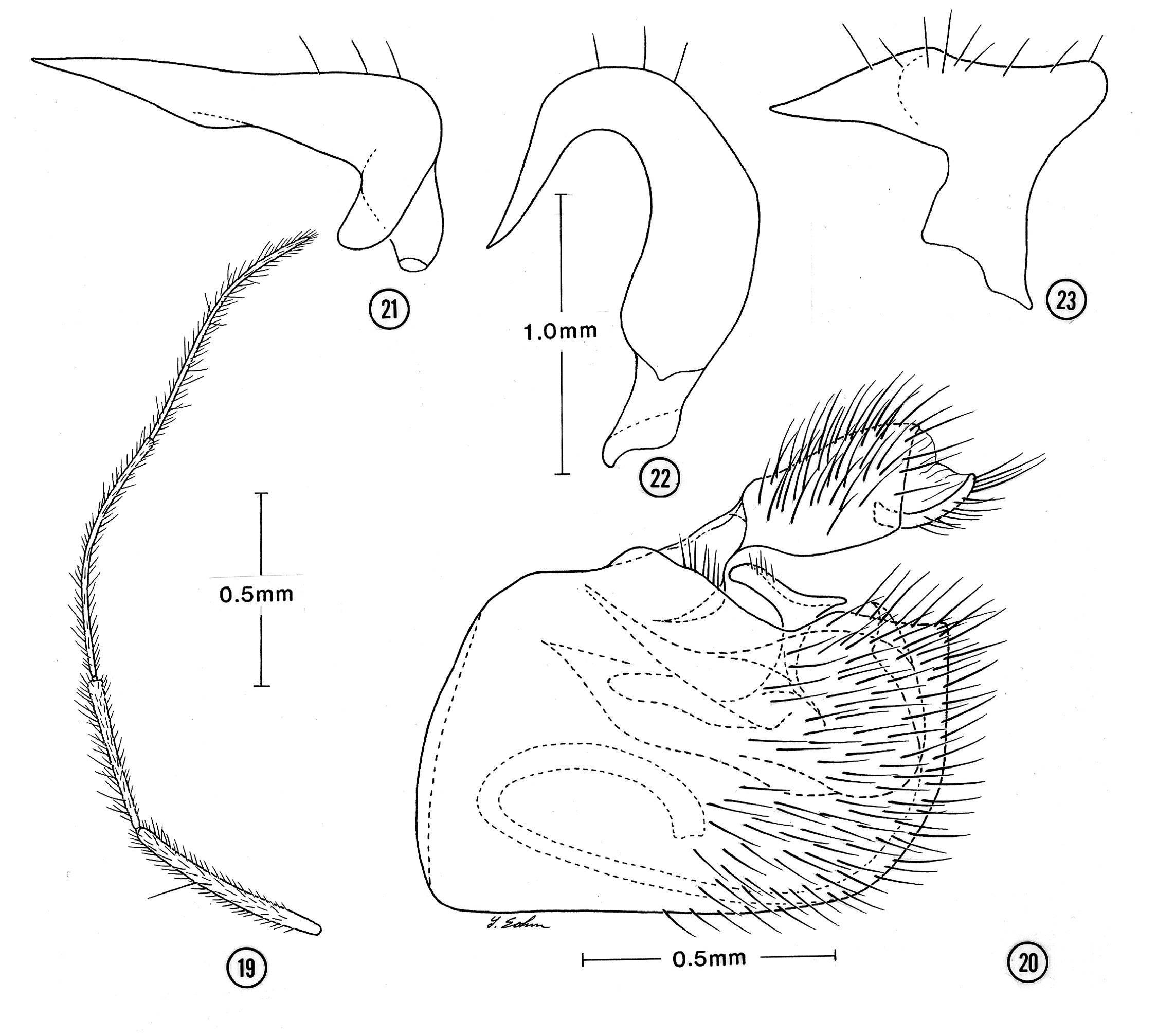 Image of <i>Mesovelia polhemusi</i> Spangler 1990