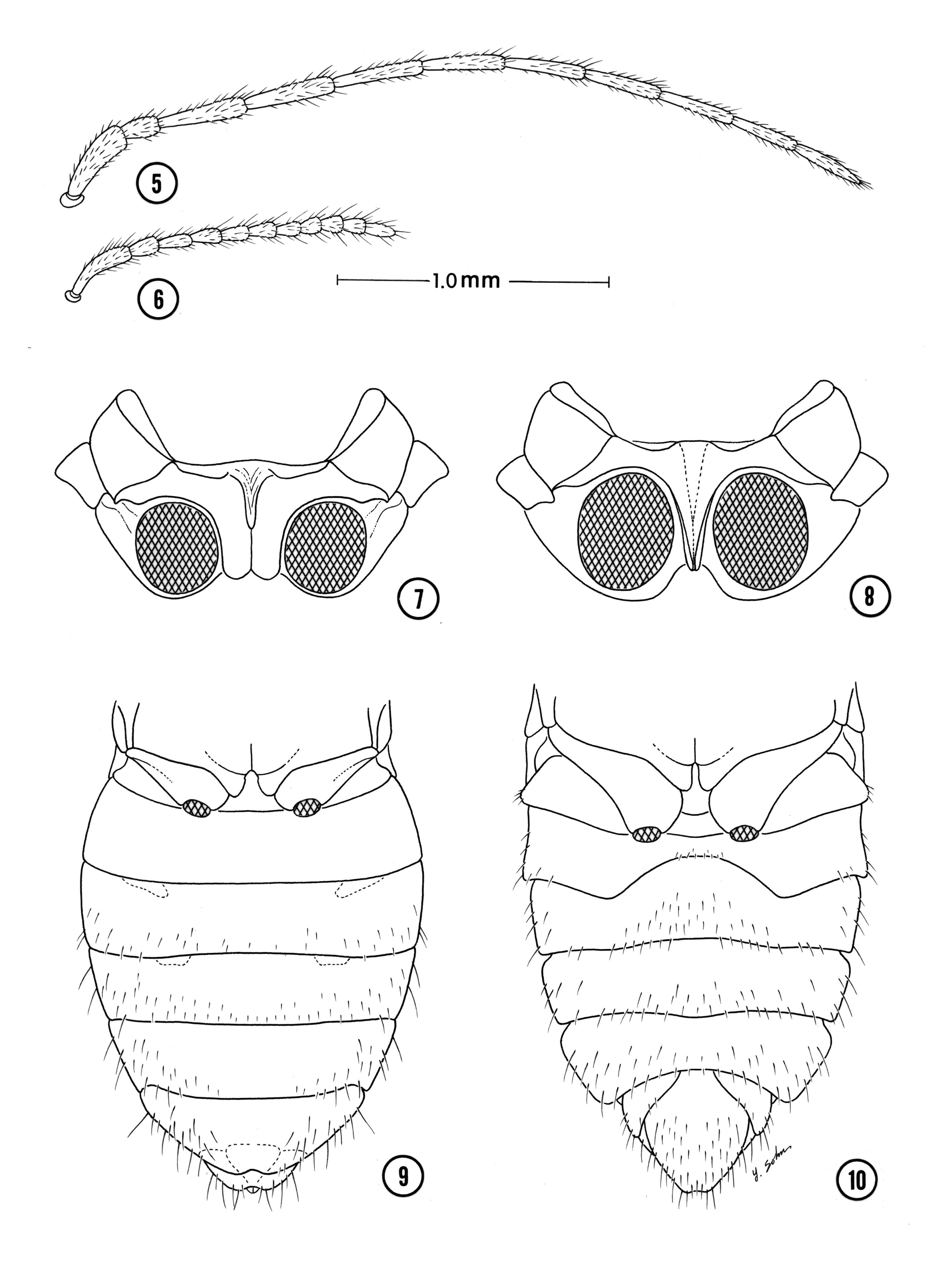 Image of <i>Pheneps cursitatus</i> Spangler 1987