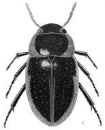 Image of <i>Cymbiodyta toddi</i> Spangler 1966