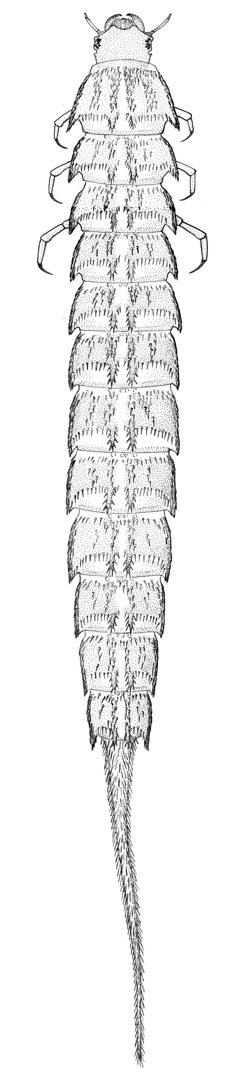 Image of Haliplus