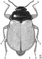 Image of <i>Psephenus oresbius</i> Spangler 1968