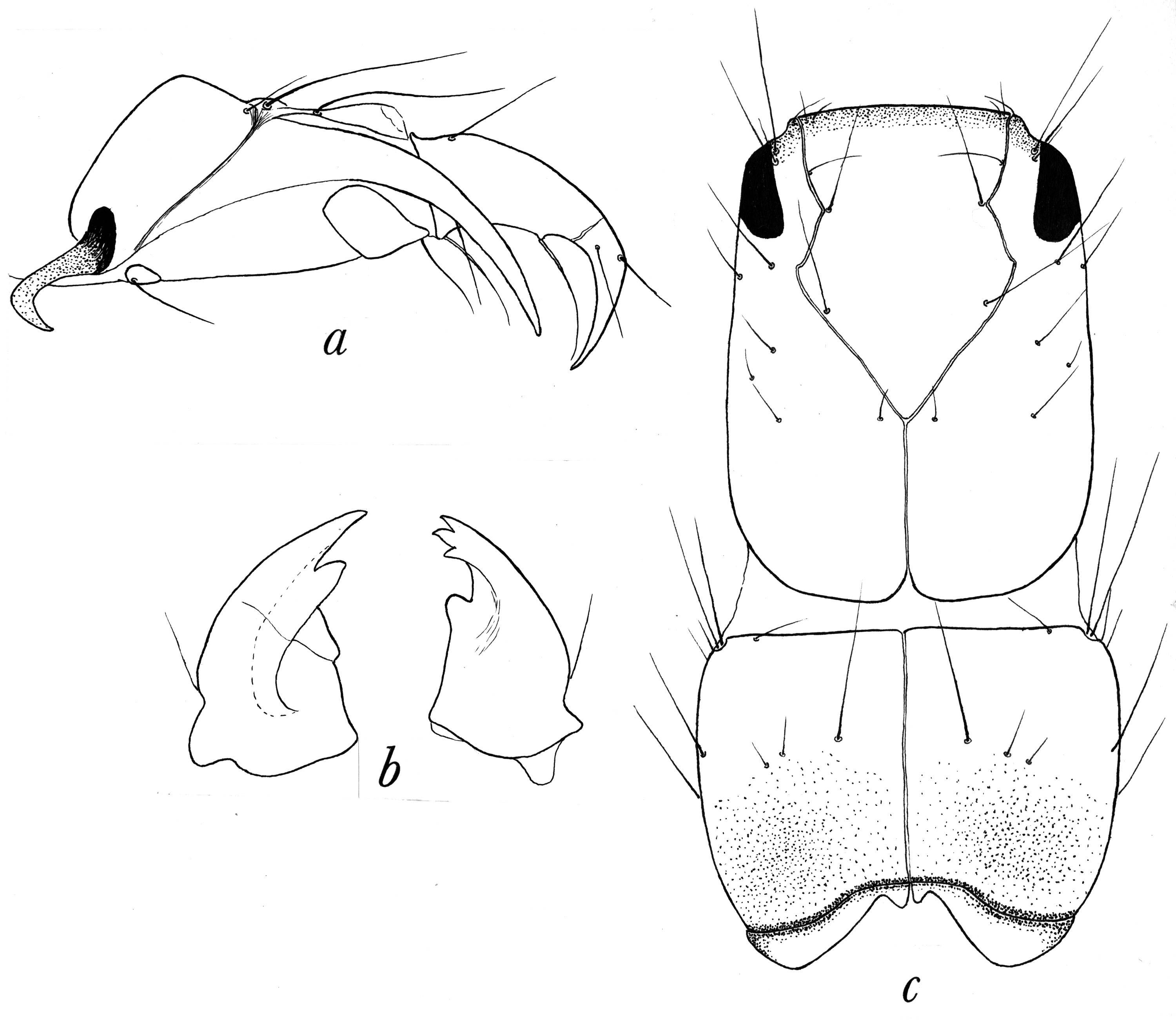 Image of <i>Rhyacophila atrata</i> Banks 1911
