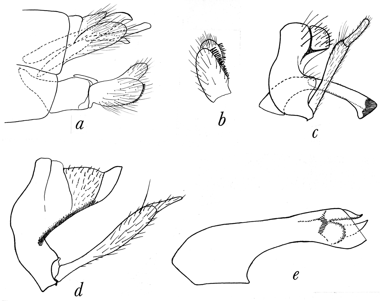 Image of <i>Phylocentropus carolinus</i> Carpenter 1933