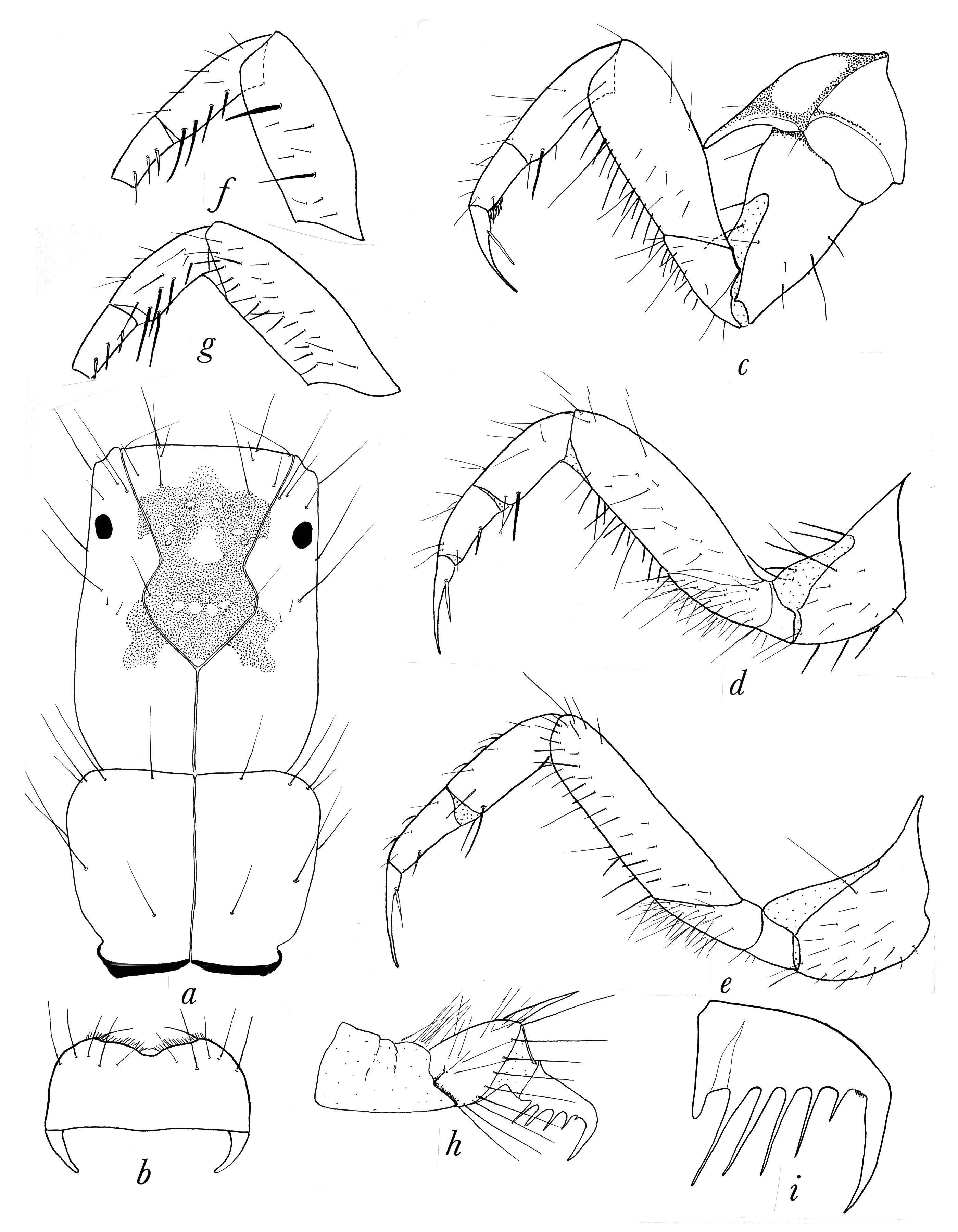 Image of <i>Polyplectropus charlesi</i> (Ross 1941)