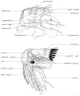 Image of <i>Monopsyllus anisus</i> Rothschild 1907