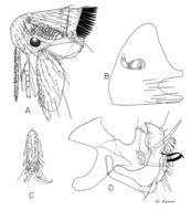 Image of <i>Dasypsyllus gallinulae</i> (Dale 1878)