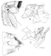 Image of <i>Monopsyllus indages</i> Rothschild 1908