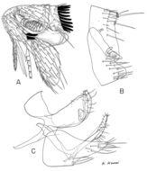 Image of <i>Peromyscopsylla himalaica</i> (Rothschild 1915)