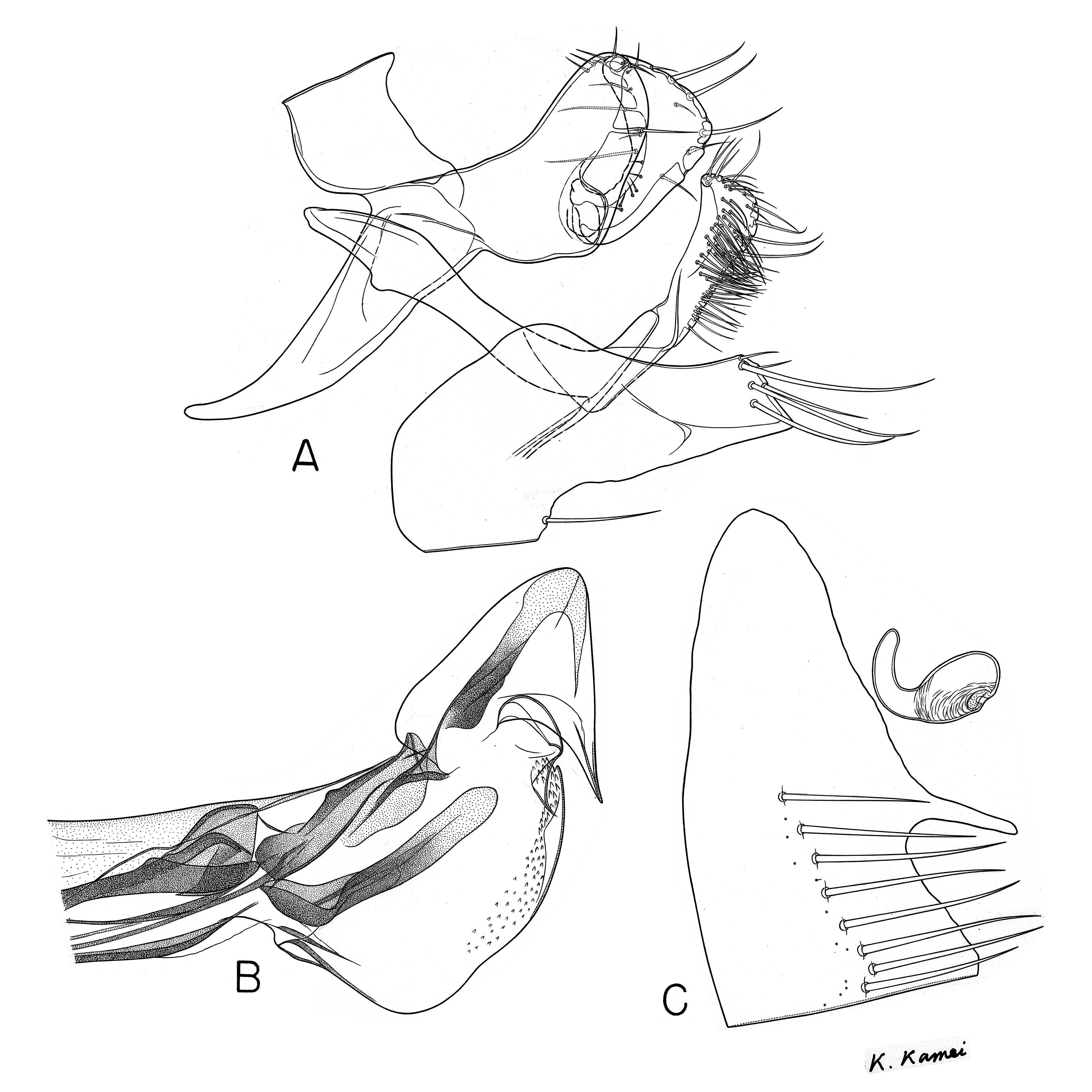 Image of <i>Peromyscopsylla segregata</i> Sakaguti & Jameson 1959