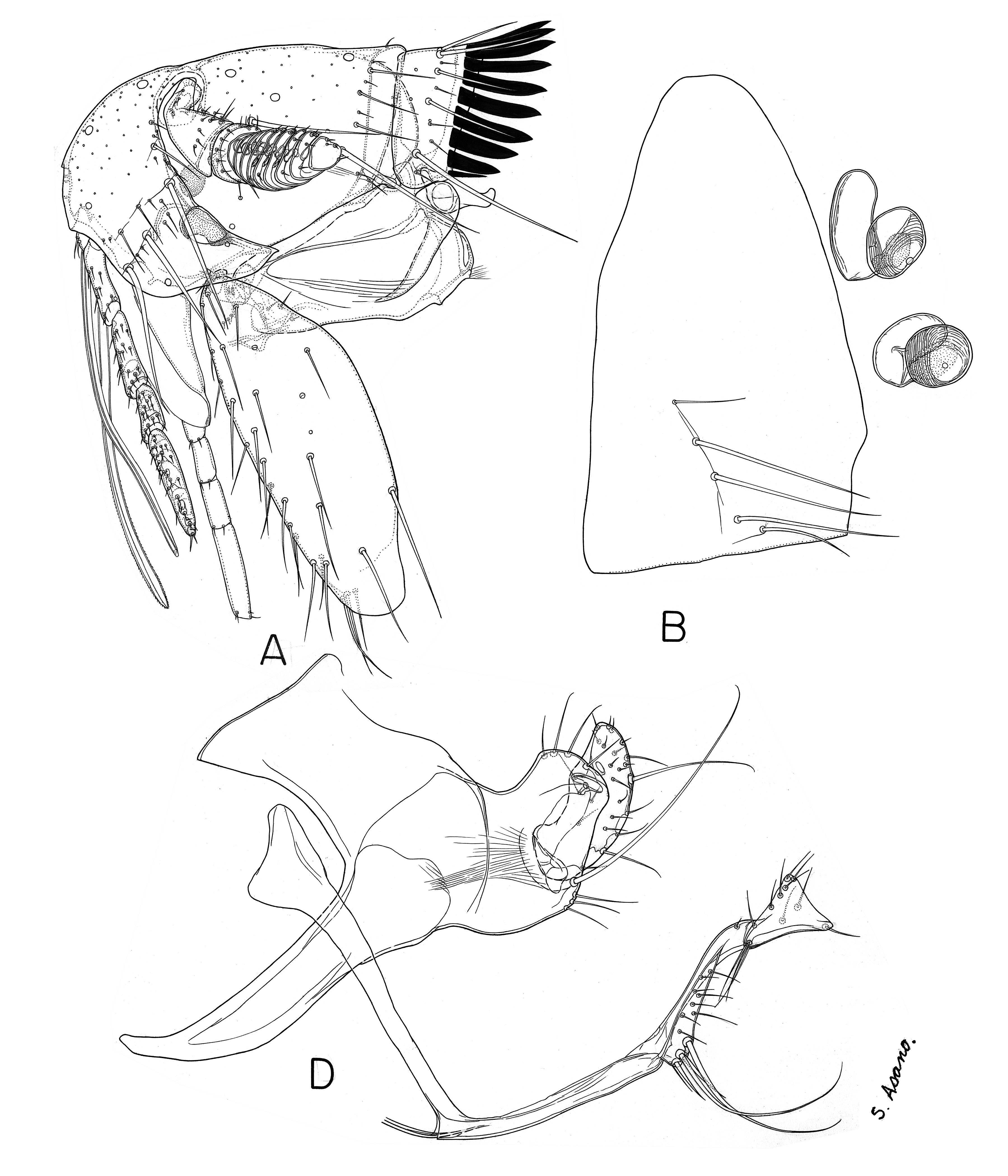 Image of <i>Paradoxopsyllus curvispinus</i> Miyajima & Koidzumi 1909