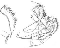 Image of <i>Ancistropsylla roubaudi</i> Toumanoff & Fuller 1947