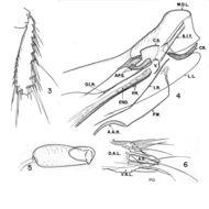 Image of <i>Ctenidiosomus spillmanni</i> Jordan 1931
