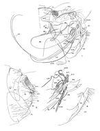 Image of <i>Sternopsylla <i>distincta</i></i> distincta (Rothschild 1903)