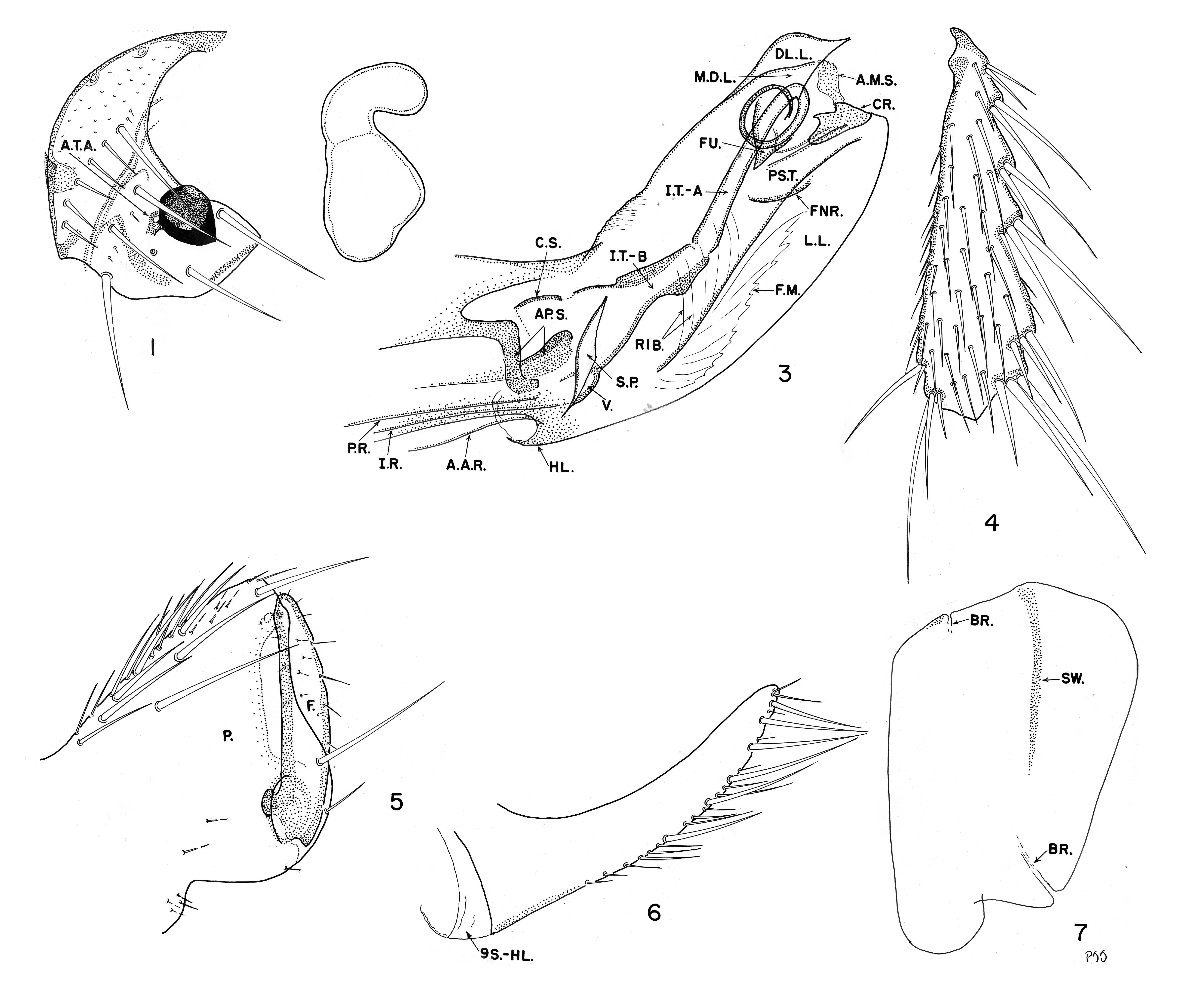 Image of <i>Polygenis impavidus</i> Johnson 1957