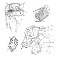 Image of <i>Malacopsylla grossiventris</i> (Weyenbergh 1879)