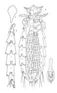 Image of <i>Hoplopleura captiosa</i> Johnson & P. T. 1960