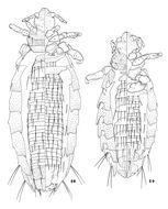 Image of <i>Hoplopleura zelotomydis</i> Johnson & P. T. 1960