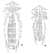 Image of <i>Polyplax myotomydis</i> Johnson & P. T. 1960