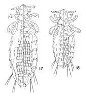 Image of <i>Hoplopleura erismata</i> Ferris 1921